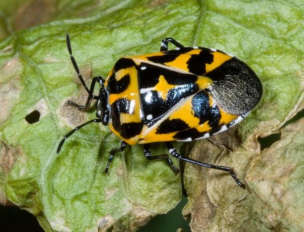 Figure 12. Harlequin bug is very difficult to manage in organic systems.
