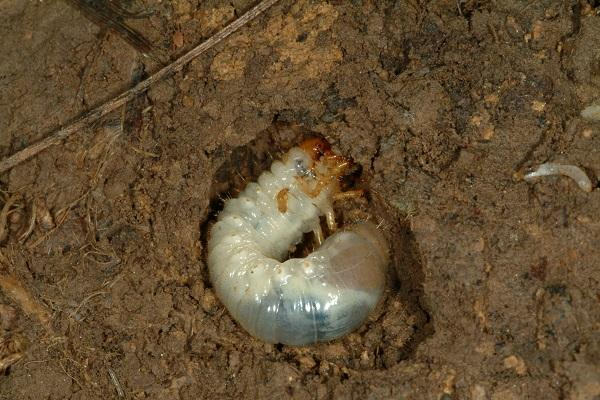 Figure 2. White grubs produce large holes in tubers.