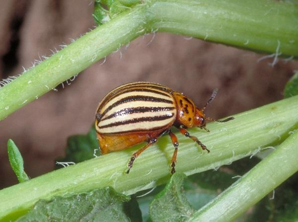 Figure 3Colorado potato beetle has alternating black and white stripes on its wing covers.