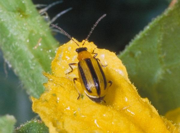 Figure 1. Striped cucumber beetles are yellow-green with three black stripes down the back and are 1/4 inch long.