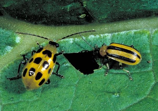 Figure 2. Spotted cucumber beetle (left) is larger on average than striped cucumber beetle (right).