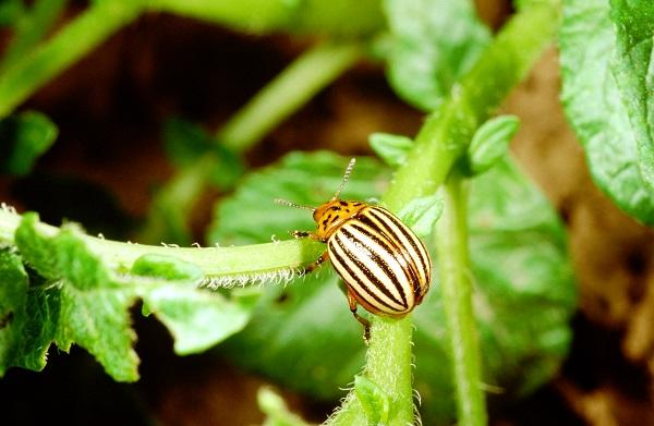 Figure 3. Adult Colorado potato beetle.