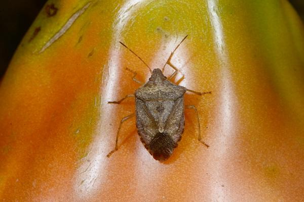 Figure 5. Adult brown stink bug.