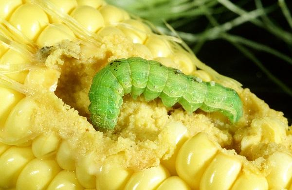 Figure 2. Although variable in color, corn earworm larvae feel rough to the touch.