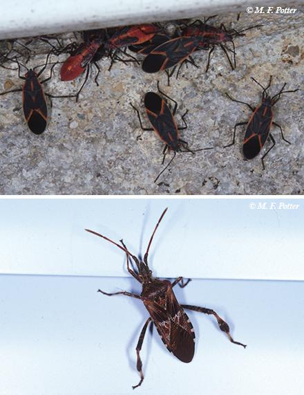 boxelder bug and WCSB