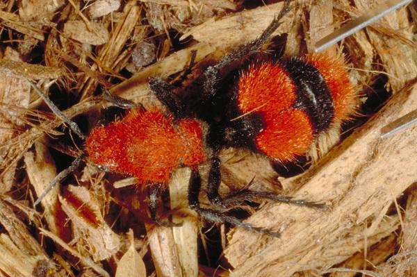 Figure 2. The brightly colored cow killer velvet ant is common in late summer.