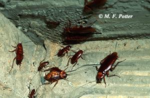 American cockroaches congregate in dark, moist locations.
