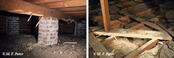 Significant damage can occur in humid, poorly ventilated crawlspaces and attics.
