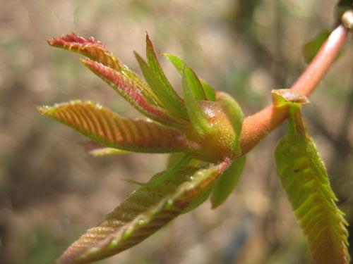 Larval growth begins at budbreak, and induces very rapid formation of the conspicuous stem, petiole, or leaf galls.