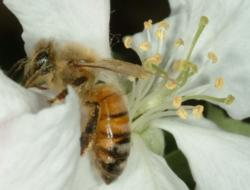 Controlling Nuisance Honey Bees   Entomology