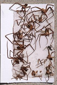 Brown Recluse Trapped