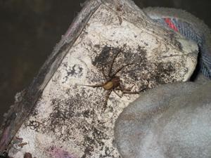 Brown Recluse Spider | Entomology