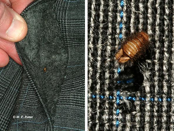 Carpet beetle larva feeding on a wool sports jacket. Concealed areas (e.g., cuffs, collars, fabric folds) are often preferred.