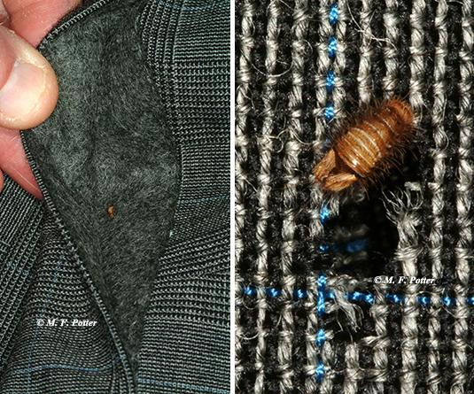 Carpet beetle larva feeding on a wool sports jacket. Concealed areas (e.g., cuffs