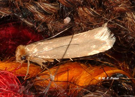 Adult webbing clothes moths (top) are sometimes mistaken for grain-infesting moths, such as the Indianmeal moth (bottom).