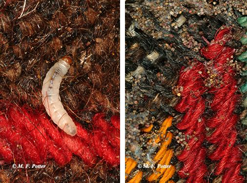 Webbing clothes moth larva (left) and fecal pellets (right).