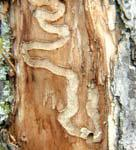 EAB Damage: Under Bark