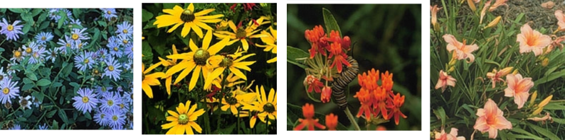 Aster, Black-Eyed Susan, Butterfly Weed, and Daylilies