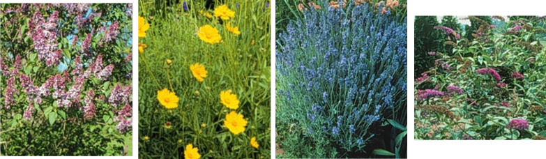 ilac, Coreopsis, Lavender, and Butterfly Bush