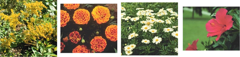 Goldenrod, Marigold, Oxeye Daisies, and Hibiscus