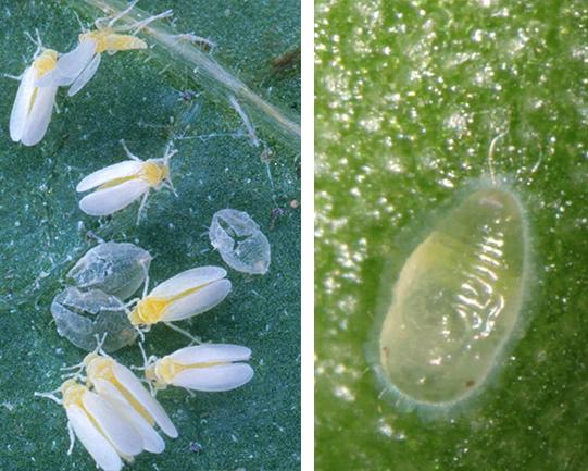 Houseplant Insect Control   Entomology