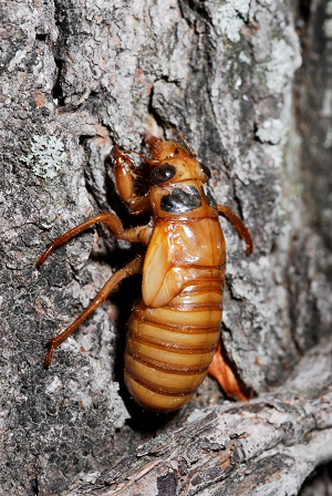 periodical cicada nymph