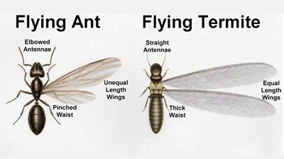 Termite swarmers are often confused with winged ants.