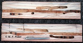 Cross-section of wood showing carpenter bee tunnels and brood chambers.