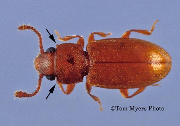 Powderpost Beetles   Entomology