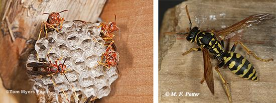 While most paper wasps are brown or reddish (a), the European paper wasp, Polistes dominula, (b), has markings similar to yellowjackets.