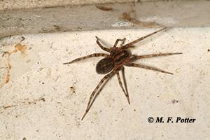 The banding on the legs of this wolf spider is one indication that it is not a brown recluse.