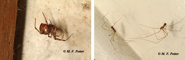 Cobweb spiders and cellar spiders often build webs in homes, but are harmless.
