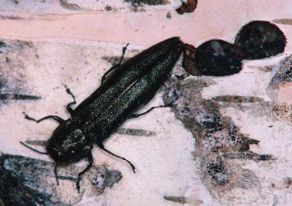 Insect Borers of Trees and Shrubs | Entomology