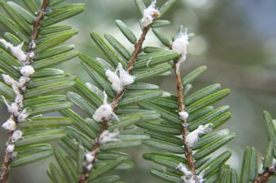 Hemlock woolly adelgid on hemlock branches