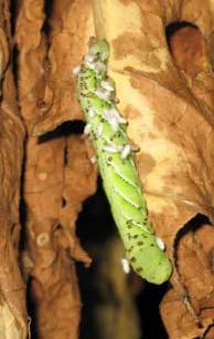 Parasitised Hornworm