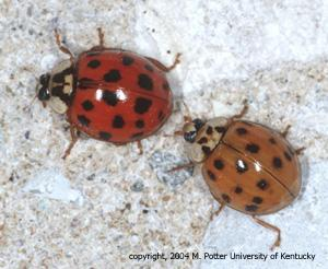 Asian multicolored lady beetle infestation