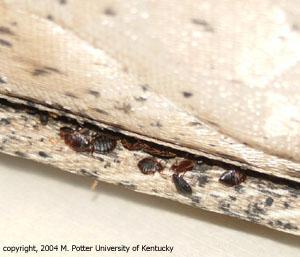 Chinche de cama | Entomology