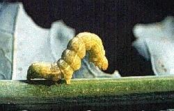 Cabbage Looper Larva