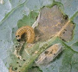 Cabbage Webworm Damage