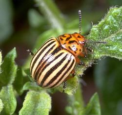 Colorado Potato Beetle Management | Entomology