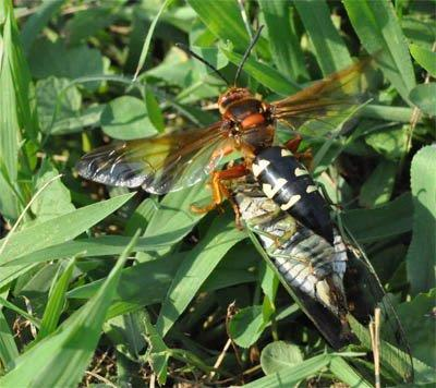 Female Cicada Killer Wasp