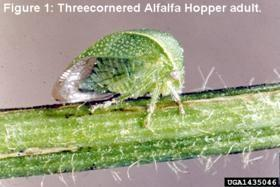 Threecornered Alfalfa Hopper Adult