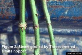 Stem Girdling: Threecornered Alfalfa Hopper
