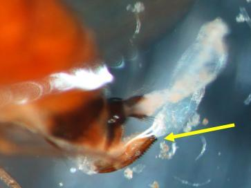Tip of the female SWD abdomen with the arrow
