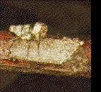 Cankerworm: Adult Female and Eggs