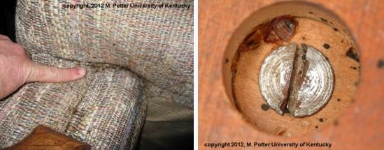 Bed bugs in furniture
