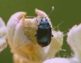 Grape Flea Beetle