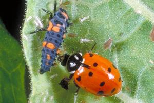 Hippodamia convergens, the convergent lady beetle