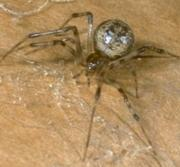 Great American House Spider