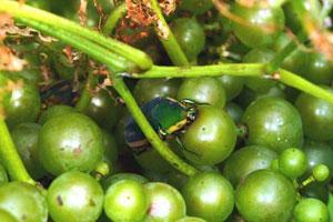 June Bug on Grapes